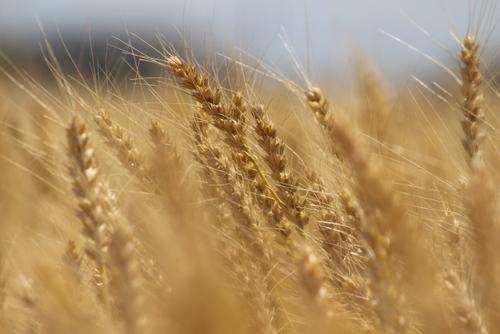 【みんなの家庭の医学】大麦で悪玉コレステロールを減らそう!効果・炊き方について